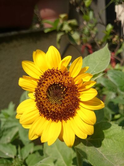 The sunflower plant looks beautiful, with large petals and attracts a number of insects and bees, making it very beneficial for the garden. In addition, the sunflower apparently acts as a natural pesticide and is beneficial for the plants in the garden. Beautiful Flower Big Yellow Flower Flower Flower In Home Garden Natural Pesticide Plant Sunflower Sunflower In Garden Sunflower In Kitchen Garden Sunflower Plant Yellow Flower Yellow Sunflower