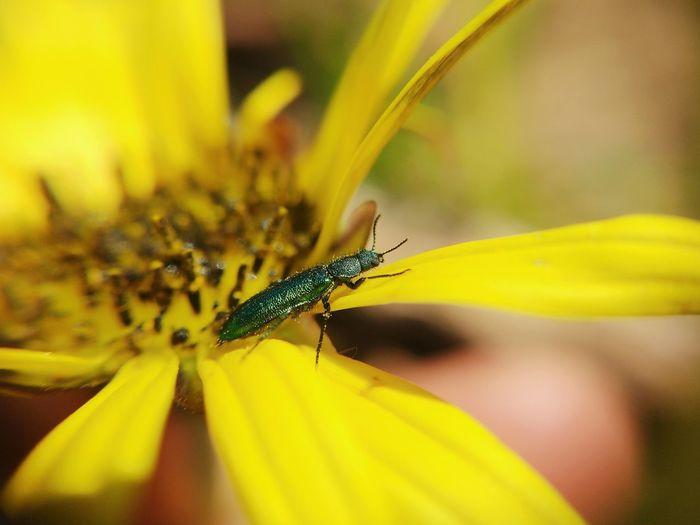 EyeEm Selects Flower Yellow Multi Colored Insect Living Organism Close-up Animal Themes Plant Animal Leg Arthropod Invertebrate Beetle Leg Animal Antenna Parallel Animal Wing Animal Limb