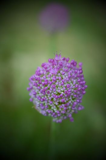 Flower Cluster in Soft Blur Tiny Flowers Close-up Fragility Blooming Day Freshness Outdoors No People Beauty In Nature Plant Nature Growth Flower Purple Flower Ball Cluster EyeEmNewHere Blur Soft Focus Background Texture Shallow Depth Of Field Shallow DOF Shallow Colors Color Photography EyeEmNewHere