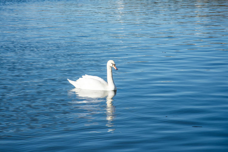 Swans Swans Swimming Animal Themes Animal Wildlife Animals In The Wild Beautiful Swan Bird Day Lake Nature No People One Animal Outdoors Swan Swan Swimming On Lake. Swans On The Lake Swimming Water Water Bird