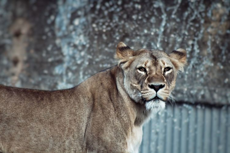 Close-up portrait of lioness at zoo
