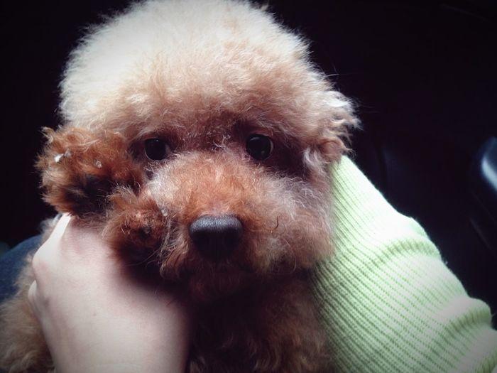 李捲捲,快八年了哦😊。 Love Enjoying Life Hanging Out Taking Photos Petlover Dog Poodle Hello World Baby 答應我,不亂咬垃圾,下次就帶妳去清大野餐😘