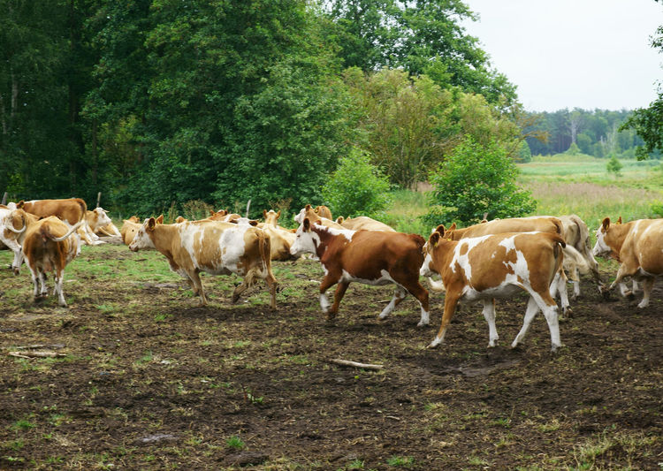 rural scene in Brandenburg, Germany Mammal Animal Domestic Domestic Animals Group Of Animals Livestock Animal Themes Pets Plant Tree Land Field Nature Vertebrate Day No People Standing Landscape Cow Herd Herbivorous Outdoors Moving Stampede Cows