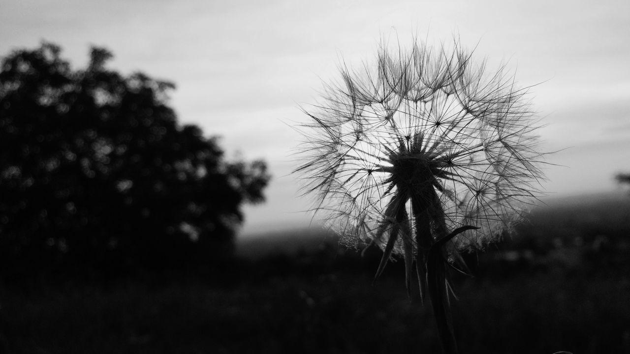 CLOSE-UP OF DANDELION FLOWER AGAINST SKY
