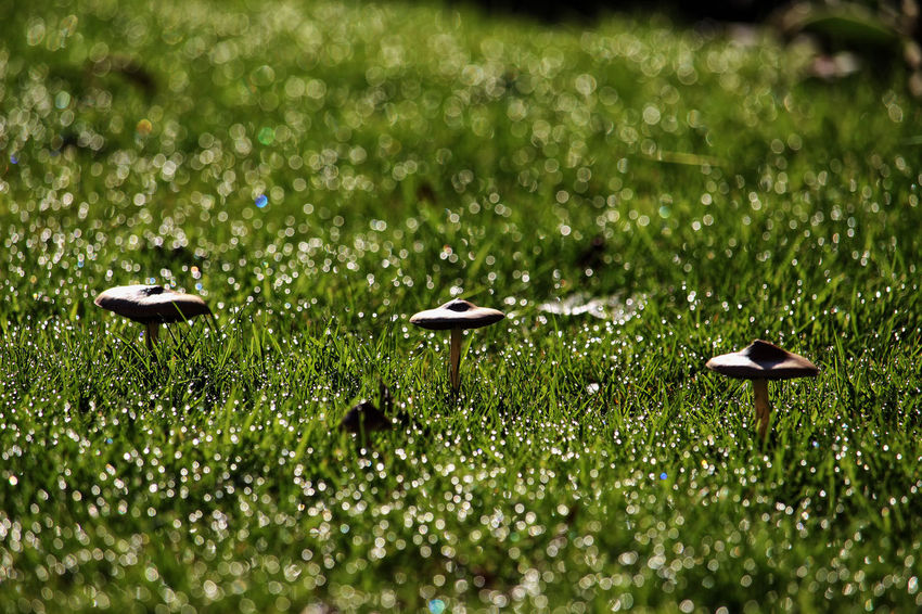 Fun guys on the lawn. Early Morning Dew Macrolepiota Procera Animal Themes Animal Wildlife Animals In The Wild Beauty In Nature Day Dew Drops Field Fungus Grass Green Color Growth Land Nature No People Outdoors Parasol Mushrooms Plant Selective Focus Toad Stool Water