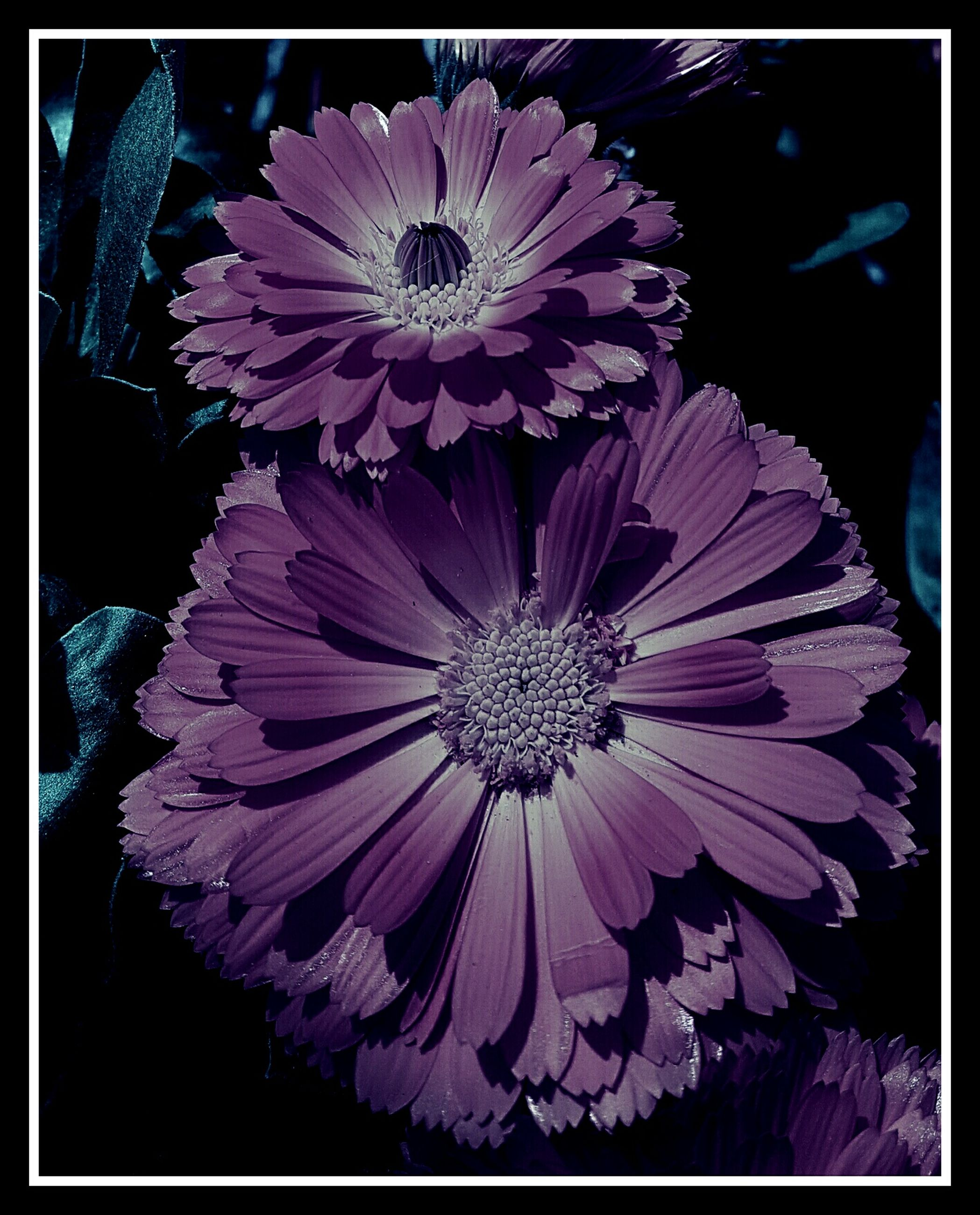 transfer print, flower, auto post production filter, petal, flower head, fragility, freshness, close-up, beauty in nature, pollen, purple, blooming, nature, growth, single flower, no people, natural pattern, in bloom, plant, outdoors