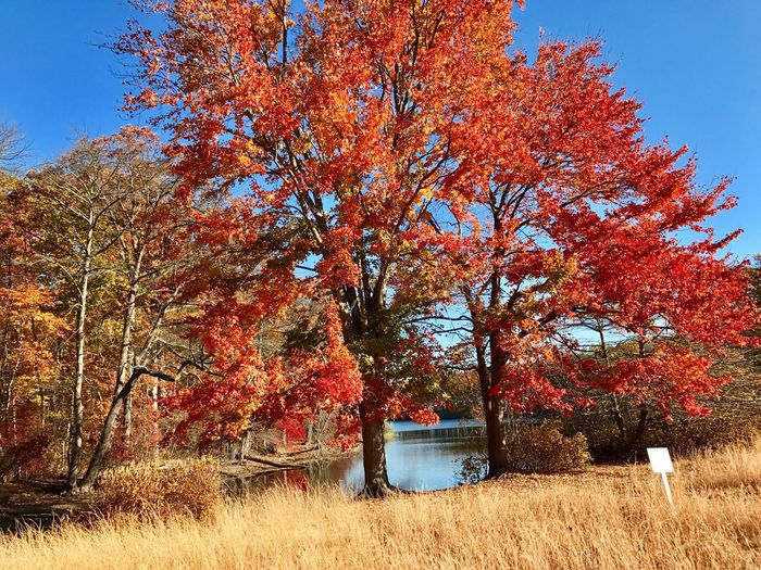 CaumsettStatePark-Red&Gold Nature Tree Outdoors Beauty In Nature Tranquility Tranquil Scene Caumsett State Park Autumn Colors Autumn Long Island, Ny