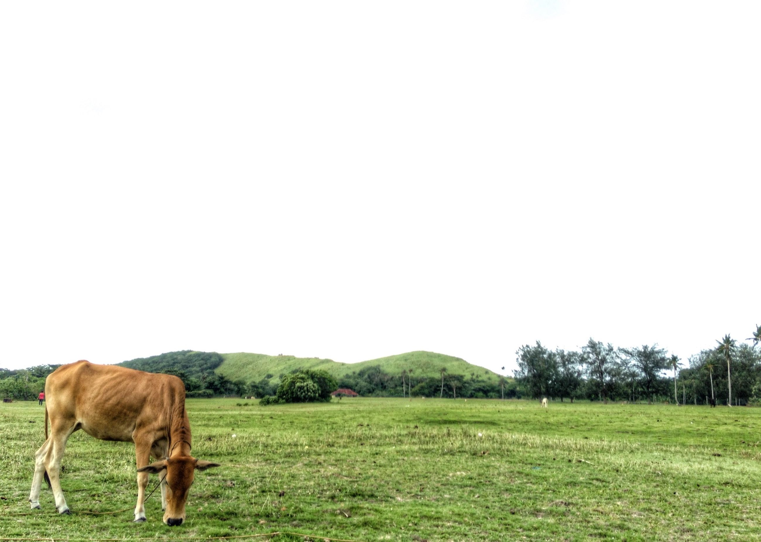 animal themes, mammal, domestic animals, grass, field, copy space, clear sky, one animal, landscape, grassy, livestock, grazing, green color, horse, herbivorous, standing, nature, full length, tranquility, two animals