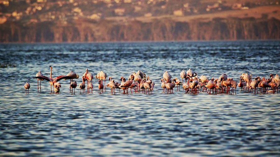 View of flamingos in rippled lake