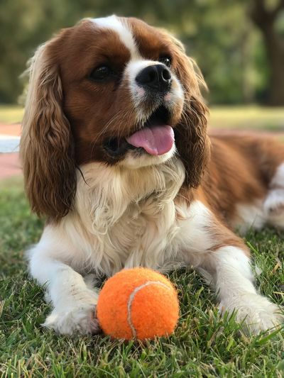 Close-up of dog with ball on field
