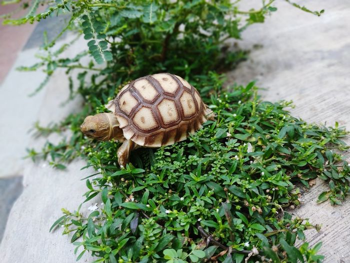 Hiro the Tortoise Sulcata African Tortoise Tortoise Kurakura Darat Sulcata Tortoise Kurakura Animals INDONESIA Indonesia Photography  Close-up Animal Themes Plant