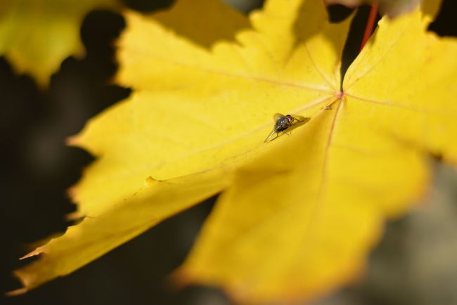 Fly Animal Themes Animal Wildlife Animals In The Wild Beauty In Nature Close-up Day Flower Flower Head Fragility Freshness Growth Insect Insects  Leaf Leaf Vein Leaf With Red Edges Nature No People One Animal Outdoors Plant Selective Focus Yellow Maple Leaves