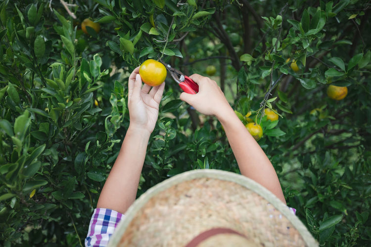 Directly above shot of woman picking orange from tree