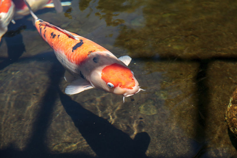 Koi fish, Cyprinus carpio haematopterus, eating in a koi pond in Japan Animal Themes Animals In The Wild Carp Close-up Colorful Koi Fish Cyprinus Carpio Cyprinus Carpio Haematopterus Day Koi Koi Carp Koi Fish Large Koi Nature No People Pond Prize Fish Prize Koi Sea Life Swimming