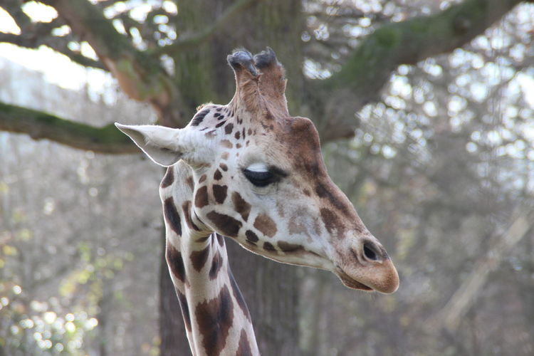 EyeEm Selects Animal Wildlife One Animal Animal Giraffe Safari Animals Animal Head  Close-up Portrait