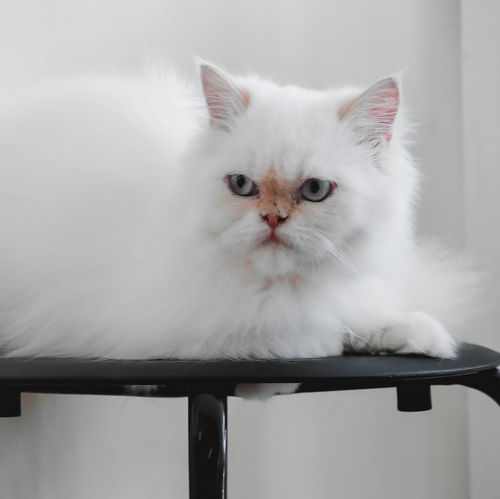 Cat House Cat Cat House Close-up Domestic Domestic Animals Domestic Cat Feline Indoors  Looking At Camera Mammal No People One Animal Persian Cat  Pets Portrait Vertebrate Whisker White Color First Eyeem Photo