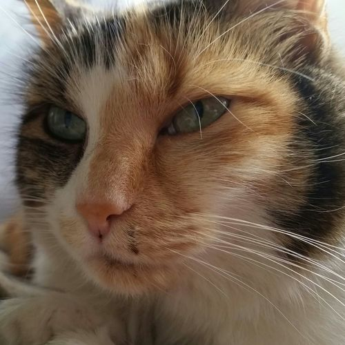 Calico Cats are beautiful War Zone Scratch Marks We Are Family Better Together