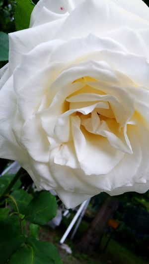 Flower White Flower Beautiful Beautiful Nature Perfect Rose🌹 Nature White Rose Withe Flower