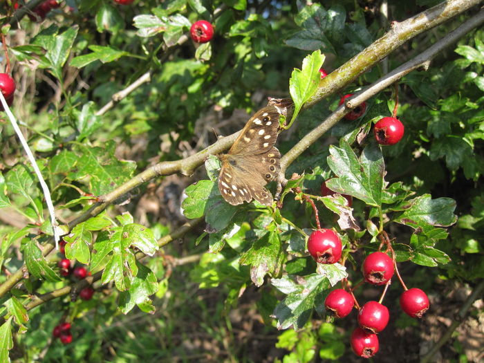 Speckled wood butterfly on hawthorn Nature Butterfly EyeEm Nature Lover Nature_collection Nature Butterflies Natures Diversities