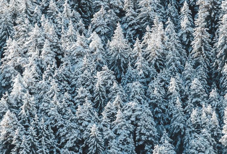 Full frame shot of snow-covered pine tree during winter.