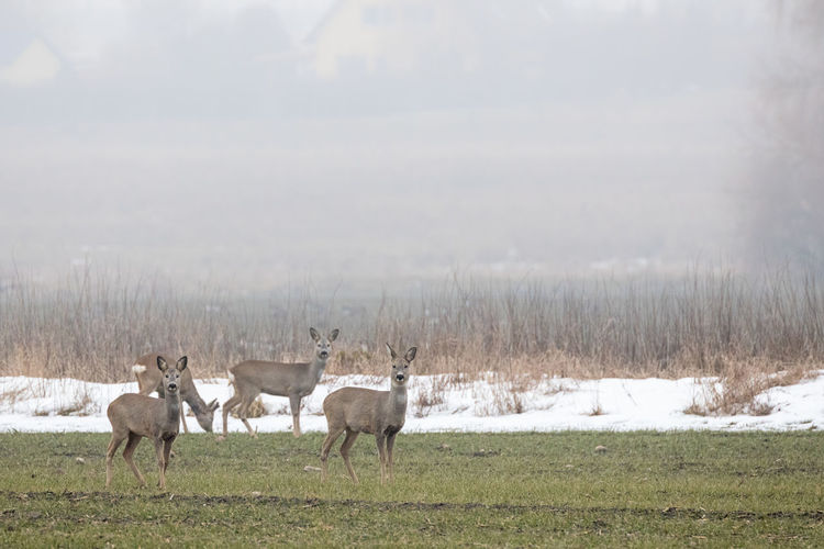 Deer standing on grassy field during foggy weather