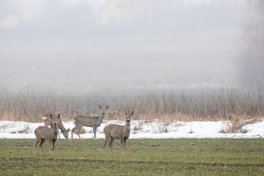 Group of does standing on field in winter Agriculture Alertness Animal Themes Animal Wildlife Animals In The Wild Beauty In Nature Cold Temperature Deer Doe Field Focus On Foreground Fog Grass Landscape Looking At Camera Mammal Nature No People Pasture Rural Scene Selective Focus Side View Snow Standing Winter