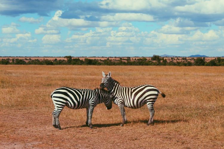Zebras on a field