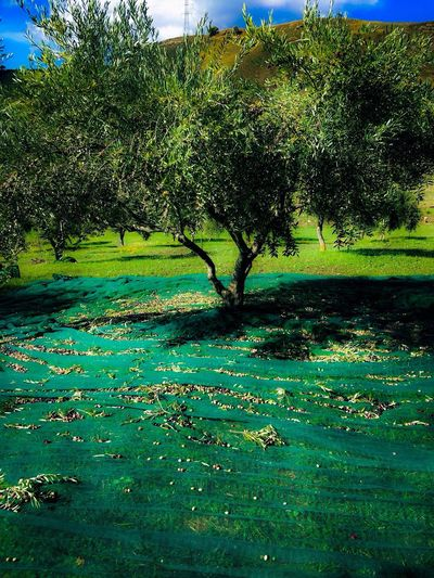Perspectives On Nature Tree Nature Scenics Outdoors Green Color Beauty In Nature No People Day Tranquility Growth Abundance Landscape Tranquil Scene Leaf Grass Freshness Sky EyeEm EyeEmNewHere EyeEm Nature Lover EyeEm Gallery Sicily Olive Tree Villafrati