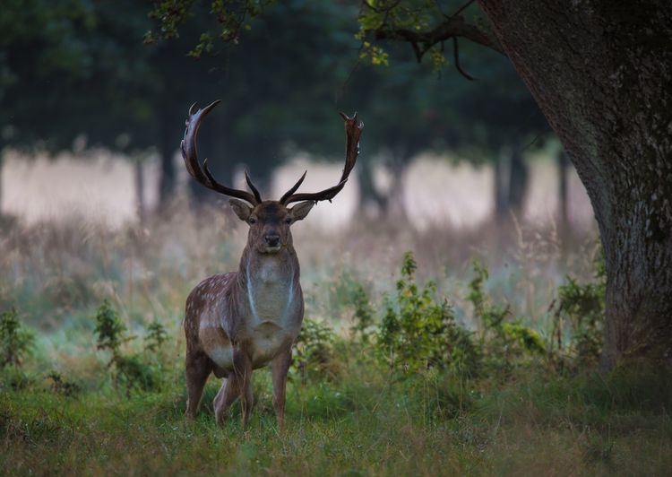 Portrait of deer standing on field at forest