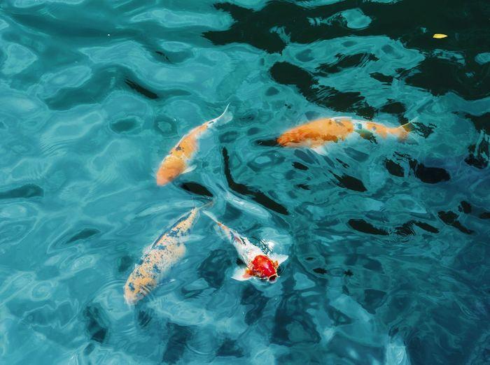 Ikan koi renang