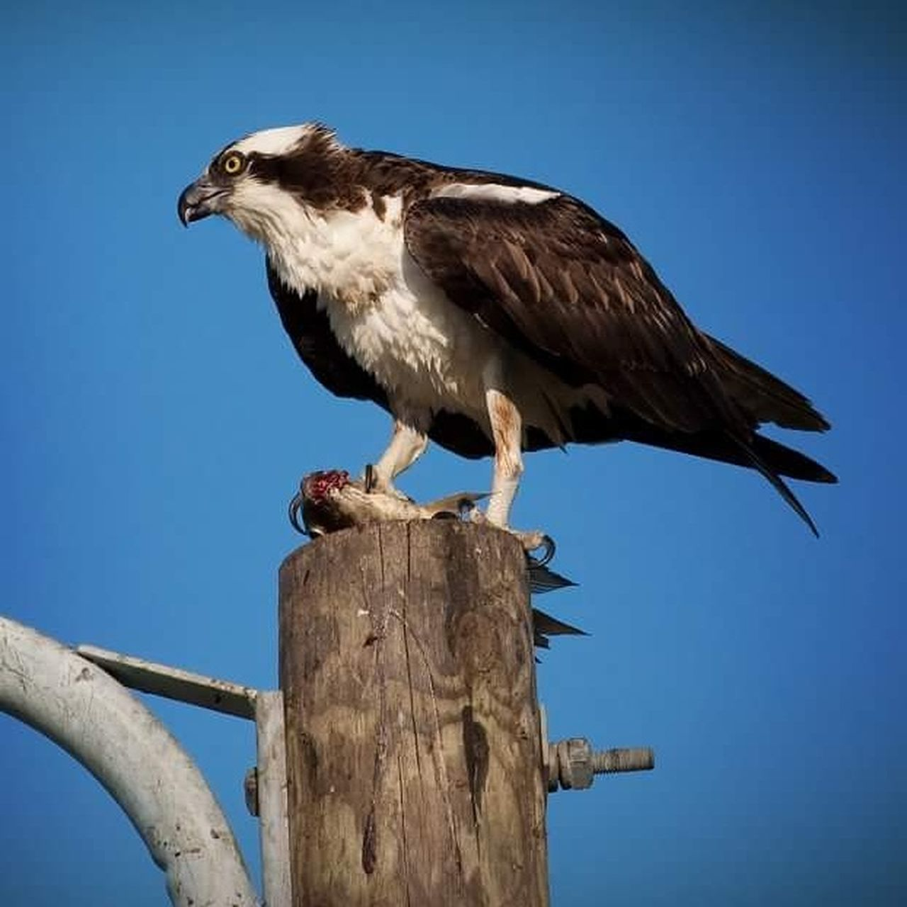 bird, bird of prey, one animal, perching, animal wildlife, animals in the wild, blue, outdoors, clear sky, no people, day, animal themes, bald eagle, wooden post, close-up, full length, nature, sky