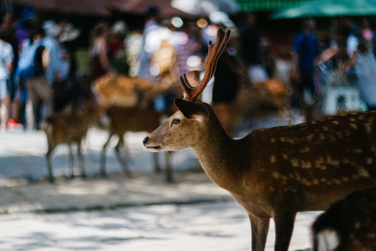 Animals In The Wild Antler Bokeh Day Deer Depth Of Field Nara Nara,Japan Nature One Animal Outdoors Stag Todaiji
