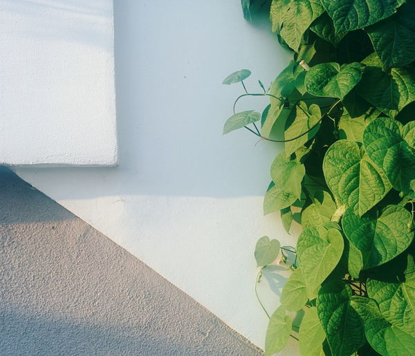 Creepers on white wall