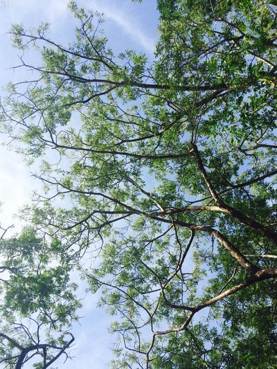 Trying to reach the sky Crafted Beauty Freshness Leaf Tranquility Backgrounds Outdoors No People Day Forest Sky Branch Growth Beauty In Nature Nature Low Angle View Tree Green Green Nature Green Leaves EyeEmNewHere