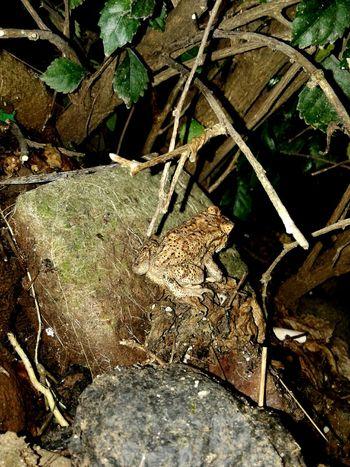 Nemu kodok ni didepan rumah,kasian kodoknya kesepian 😂 Animals Animals In The Wild Animal Wildlife Animal Photography Frog Frogs. Nature Frogs No People Day Outdoors Leaf Nature Close-up Pet Portraits