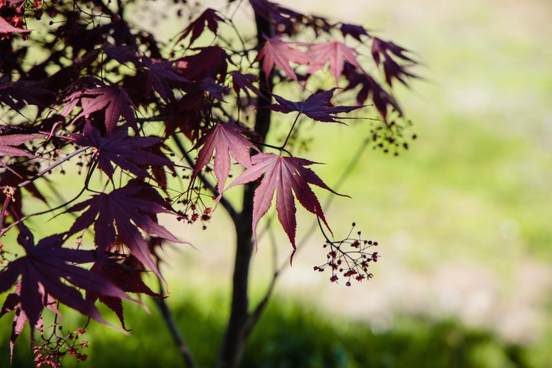 Bloodgood maple Bloodgood Plant Growth Focus On Foreground Beauty In Nature Close-up Flowering Plant Flower Nature Leaf Vulnerability  Day Plant Part No People Outdoors Tree Branch Selective Focus Tranquility