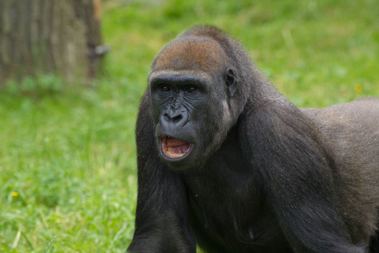 Close-up of gorilla with open mouth on grassy field at zoo