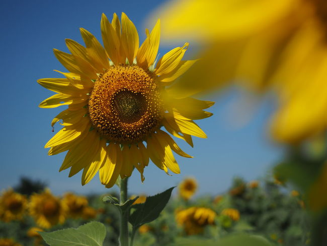 Yellow Focus On Foreground Sunflower Flowering Plant Flower Head
