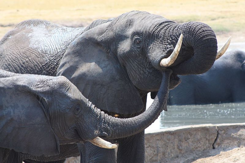 Trunks off.....that's my water!! African Elephant EyeEm Selects Animal Themes Elephant Animal Animals In The Wild Animal Wildlife Mammal Animal Trunk No People Day Focus On Foreground Sunlight Nature Herbivorous Outdoors Animal Head  Side View