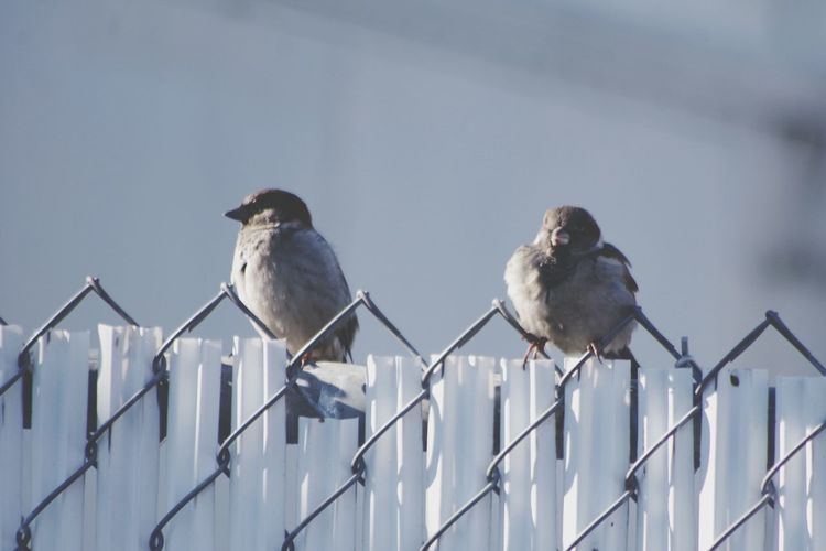 little birdies Birdies Little Birdies Wildlife Wildlife In The City Wild And Free Color Bird Animal Wildlife Animals In The Wild Perching Group Of Animals Nature Railing No People Outdoors Day Cold Temperature Fence