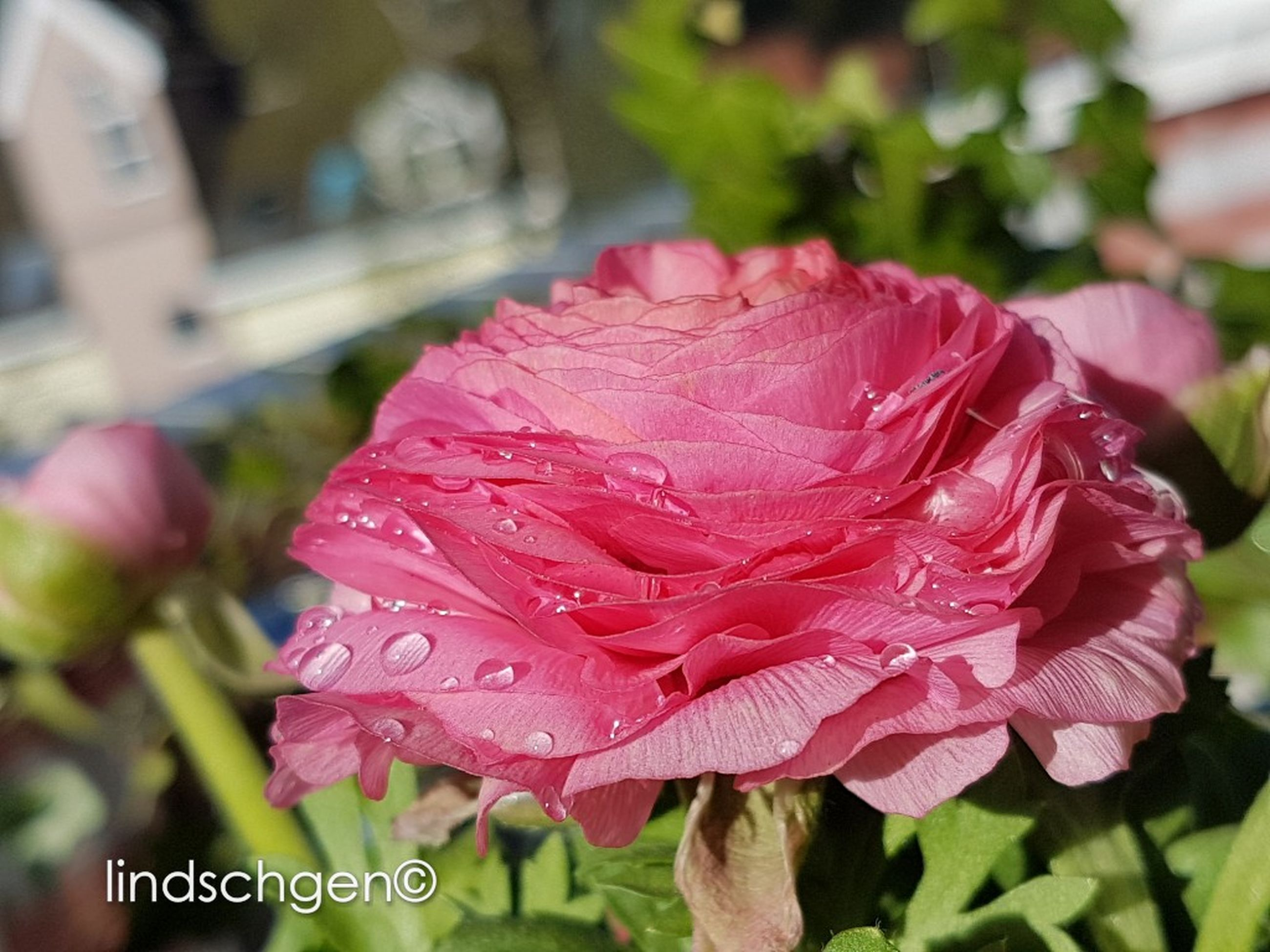 petal, flower, fragility, flower head, nature, growth, beauty in nature, freshness, day, leaf, pink color, close-up, no people, plant, blooming, outdoors, water