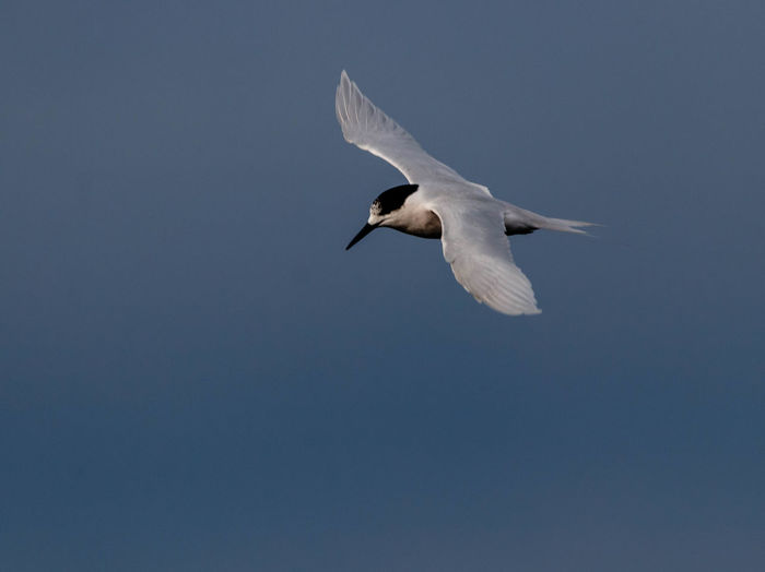 The white-fronted tern is a medium-sized, long-tailed sea tern that is common around New Zealand coasts. It is pale grey above and white below, with a black cap that is separated from the bill by a white band (or by an entirely white fore-crown in non-breeding plumage). The tail is white and forked; the length of the tail and depth of the fork decrease in size outside of the breeding season. http://nzbirdsonline.org.nz/species/white-fronted-tern Bird Flying Spread Wings Mid-air Nature Beauty In Nature Tern EyeEm Nature Lover