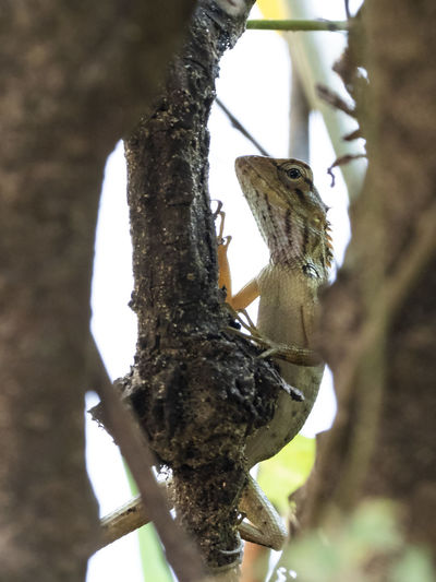 Changeable Lizard (Calotes versicolor) Reptile Reptile Photography Animal Animal Themes Animal Wildlife Animals In The Wild One Animal Vertebrate No People Branch Tree Plant Nature Day Outdoors Trunk Tree Trunk Focus On Foreground Low Angle View Close-up