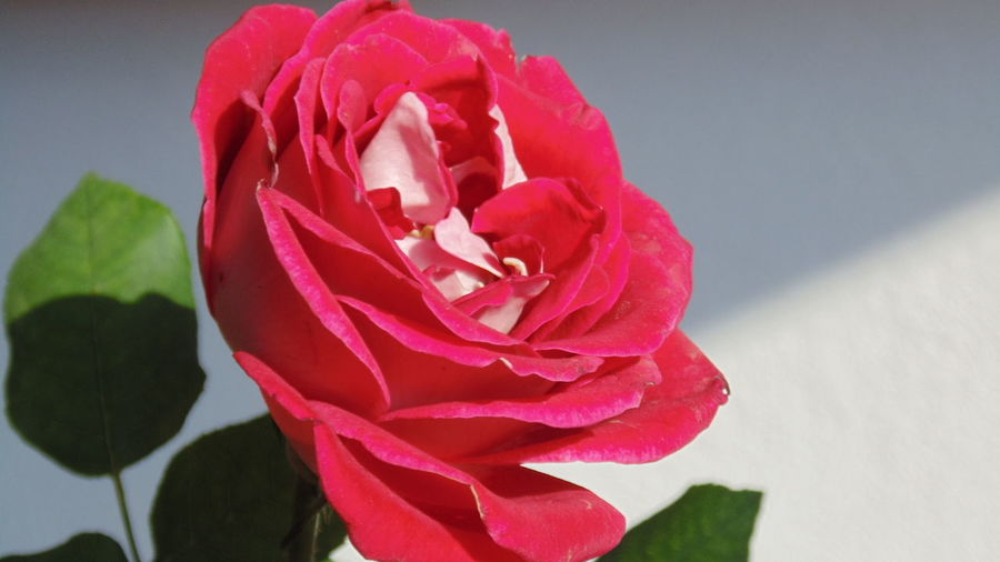 Roses Flowers, Nature And Beauty Flowers,Plants & Garden Flower Collection