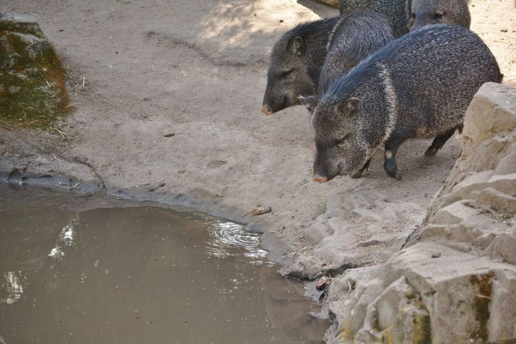 High angle view of peccaries