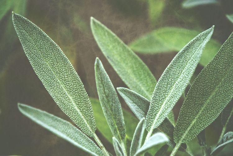 Close-up of sage plant