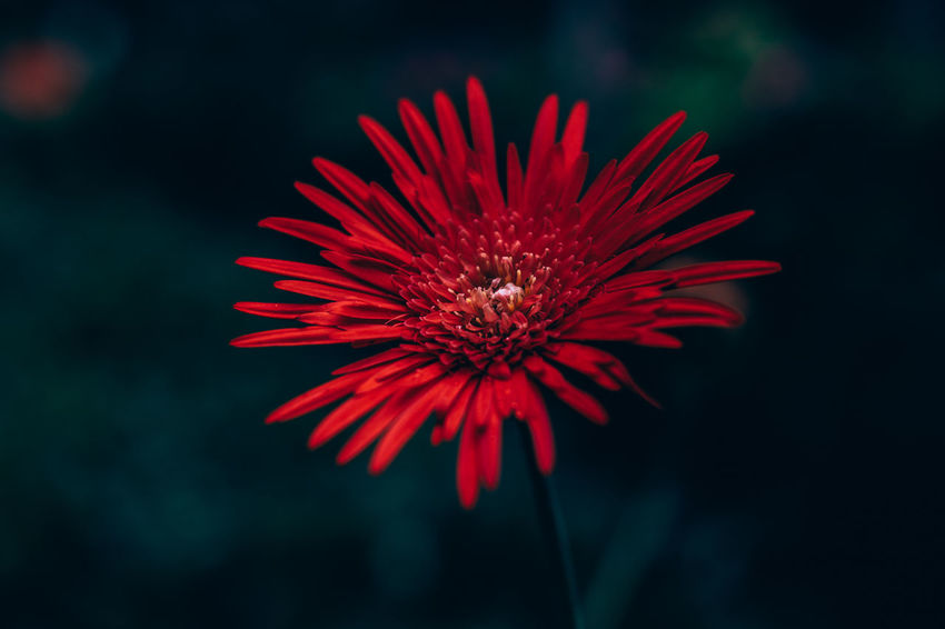 Beauty In Nature Blooming Close-up Contrast Daisy Delicate Flower Flower Head Focus On Foreground Fragility Freshness Gardening Growth Nature Outdoors Petal Plant Care Pollen Red Shadow EyeEm Diversity Art Is Everywhere EyeEmNewHere
