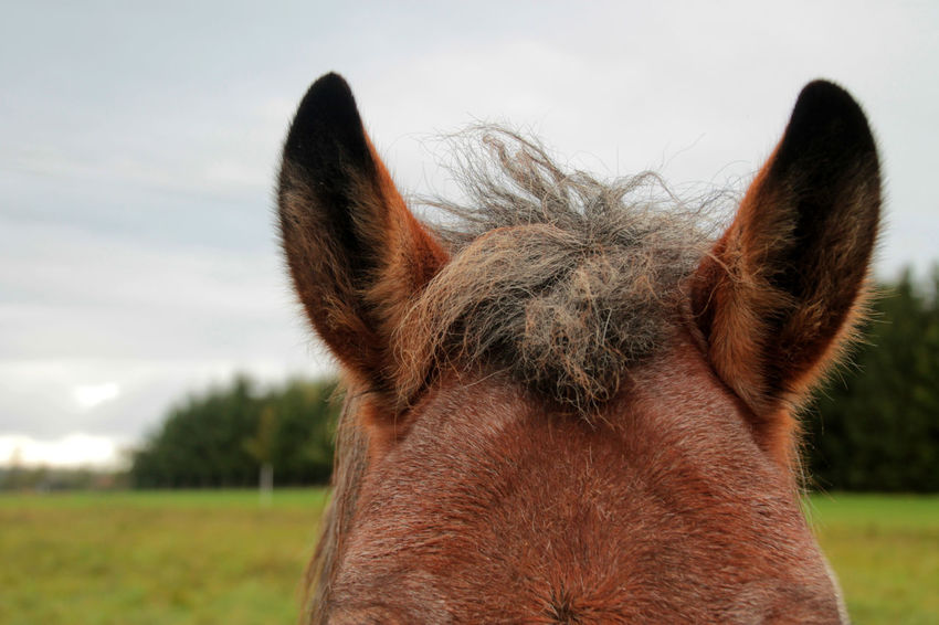 Animal Body Part Animal Head  Animal Themes Close-up Field Focus On Foreground Grass Horse Horse Ears Horse Photography  Mammal Nature One Animal Outdoors Portrait