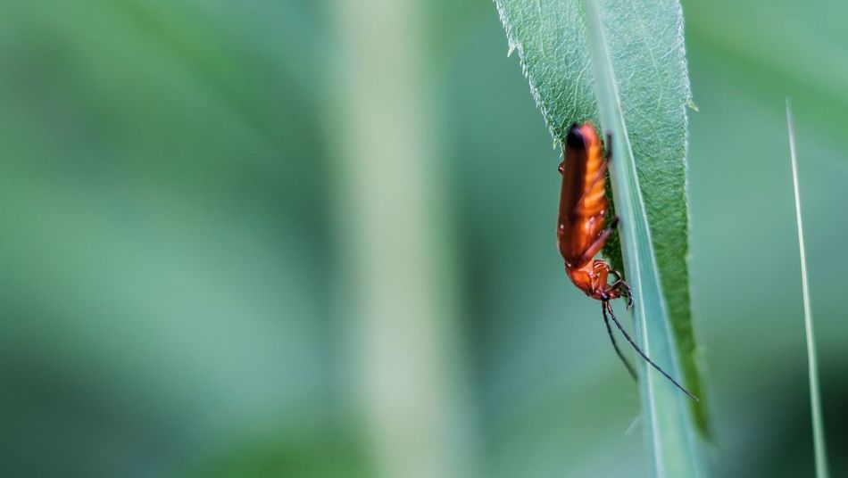 One Animal Insect Animal Themes Animals In The Wild Red Day Animal Wildlife Close-up Green Color Outdoors Focus On Foreground No People Nature Leaf Plant Beauty In Nature Weichkäfer Makro Fuji-xe2s Yashica Ml 100mm Tenebrio.photos