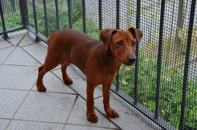 Coffee Pets Dog Standing Trapped Cage Full Length Security Chainlink Fence Animal Themes Close-up